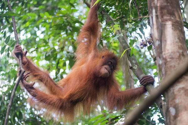 Agile Photograph - Sumatran Orangutan by Scubazoo