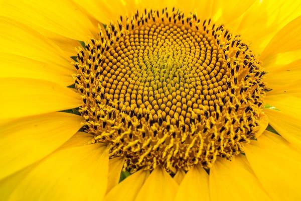 Photograph - Fibonacci's Sunflower by Melinda Ledsome