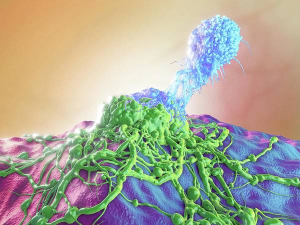 Wall Art - Photograph - T-cell Attacking Cancer Cell by Maurizio De Angelis/science Photo Library