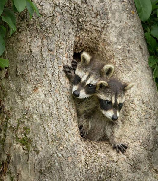 Raccoon Photograph - Usa, Minnesota, Sandstone, Minnesota by Jaynes Gallery