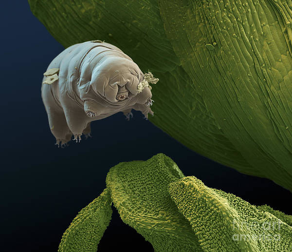 Photograph - Water Bear by Eye of Science and Science Source