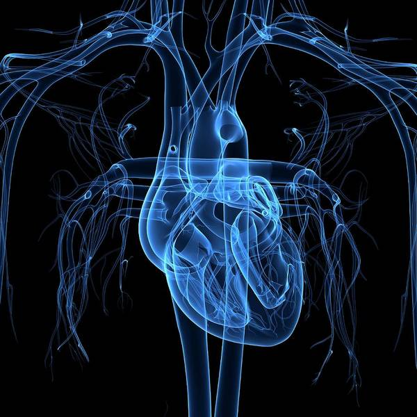 Translucent Photograph - Human Heart by Pixologicstudio/science Photo Library