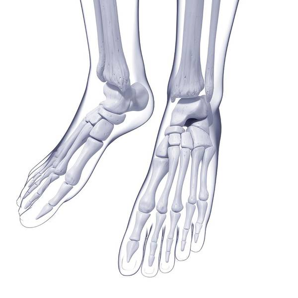 Wall Art - Photograph - Human Foot Bones by Pixologicstudio/science Photo Library