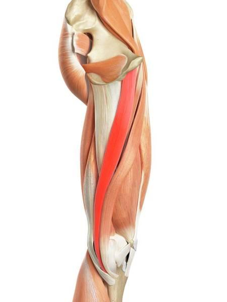 Wall Art - Photograph - Leg Muscles by Sebastian Kaulitzki/science Photo Library
