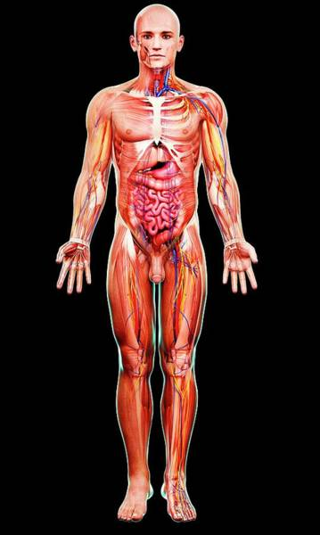 Wall Art - Photograph - Male Anatomy by Pixologicstudio/science Photo Library