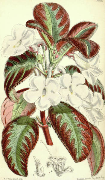 Wall Art - Drawing - Botanical Print By Walter Hood Fitch 1817 – 1892 by Quint Lox