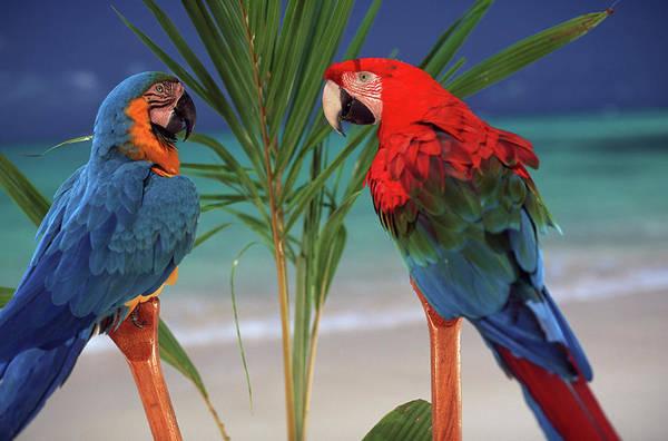 Macaw Photograph - North America, Usa, Hawaii by Sunstar