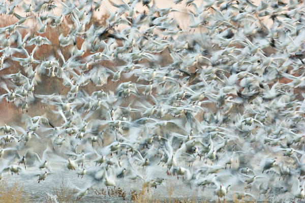 Frenzy Wall Art - Photograph - Usa, New Mexico, Bosque Del Apache by Jaynes Gallery