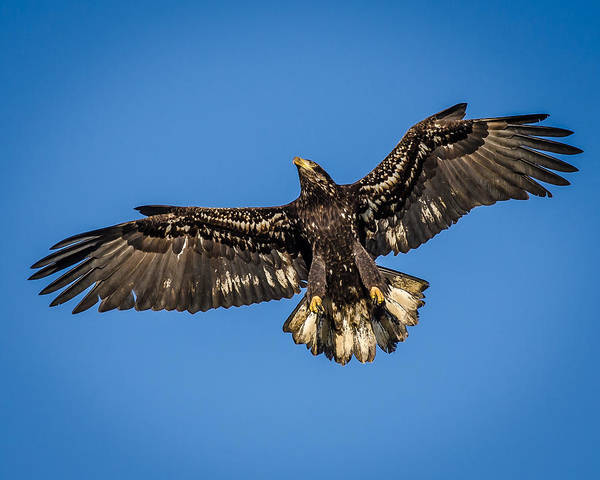 Vernon County Photograph - 8x10 Format - Young American Bald Eagle In Flight by Puget  Exposure