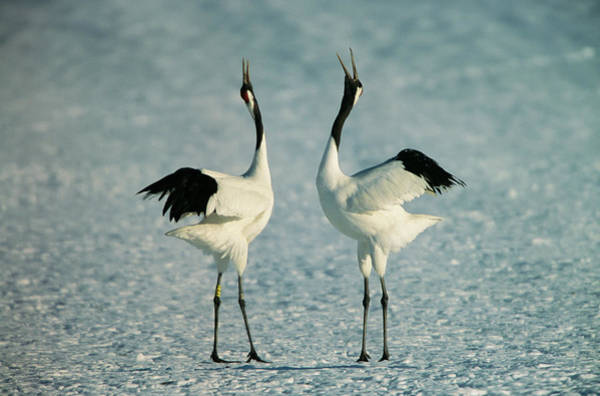Wall Art - Photograph - A Pair Of Japanese Or Red Crowned by Tim Laman