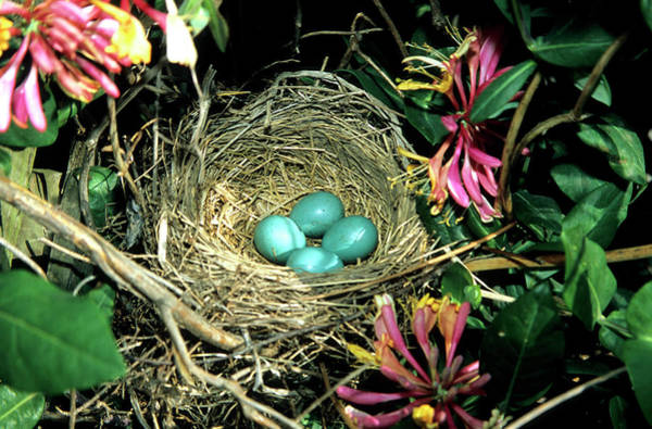 Birds Eggs Photograph - American Robin (turdus Migratorius by Richard and Susan Day