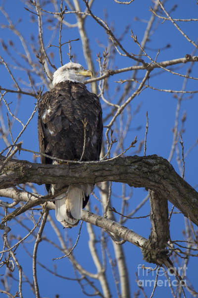 Wall Art - Photograph - Bald Eagle In Le Claire Iowa by Twenty Two North Photography