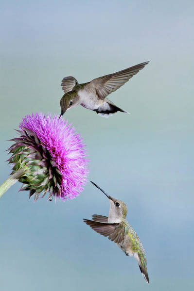 Nectar Photograph - Black-chinned Hummingbird (archilochus by Larry Ditto