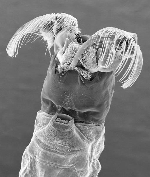 Wall Art - Photograph - Black Fly Larva by Dennis Kunkel Microscopy/science Photo Library