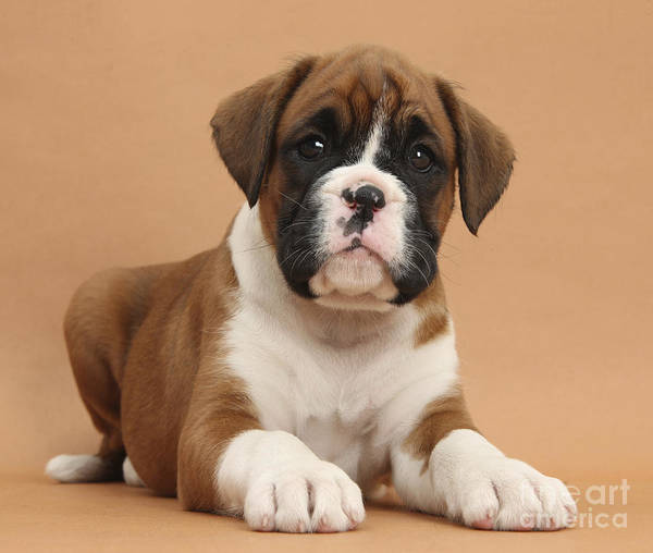 Photograph - Boxer Puppy by Mark Taylor