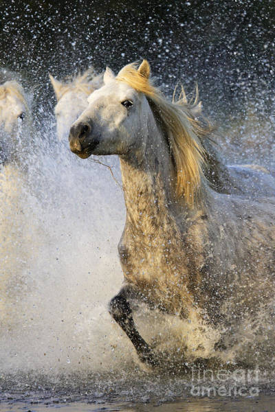 Photograph - Camargue Horses by M Watson