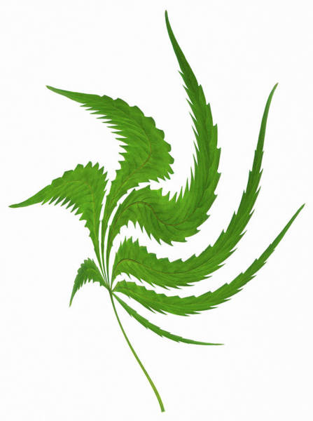 Wall Art - Photograph - Cannabis Leaf by Gustoimages/science Photo Library