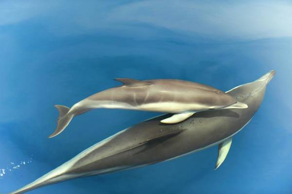 Behaviour Photograph - Common Dolphins by Christopher Swann/science Photo Library