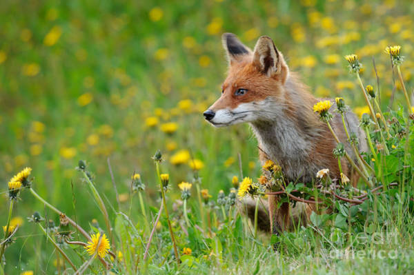 Photograph - European Red Fox by Willi Rolfes