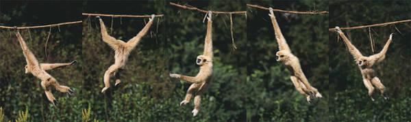 Wall Art - Photograph - Gibbon A Mains Blanches Hylobates Lar by Gerard Lacz