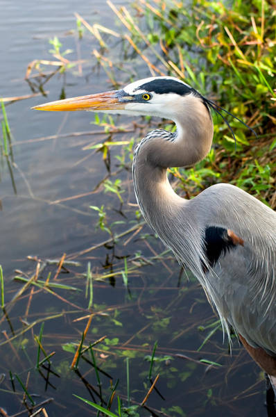 Dade Photograph - Great Blue Heron by Rich Leighton