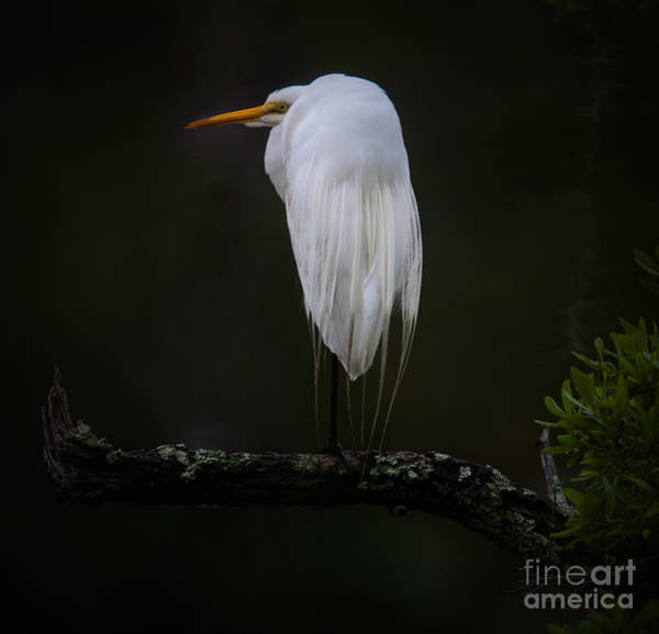 Photograph - Great White Heron by Dale Powell