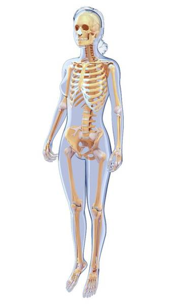 Musculoskeletal System Wall Art - Photograph - Human Skeletal System by Pixologicstudio