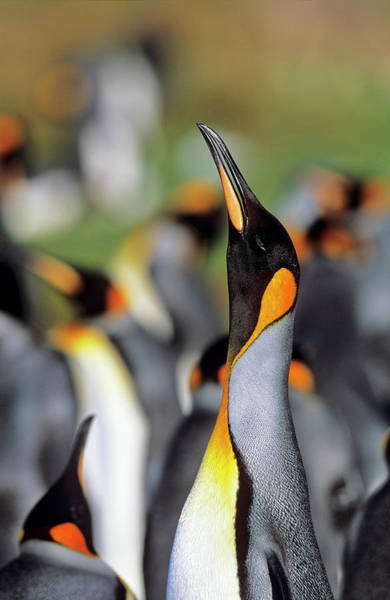 Adapted Photograph - King Penguin (aptenodytes Patagonica by Martin Zwick