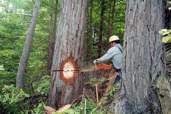 Logs Photograph - Logging Redwood Trees by Jim West