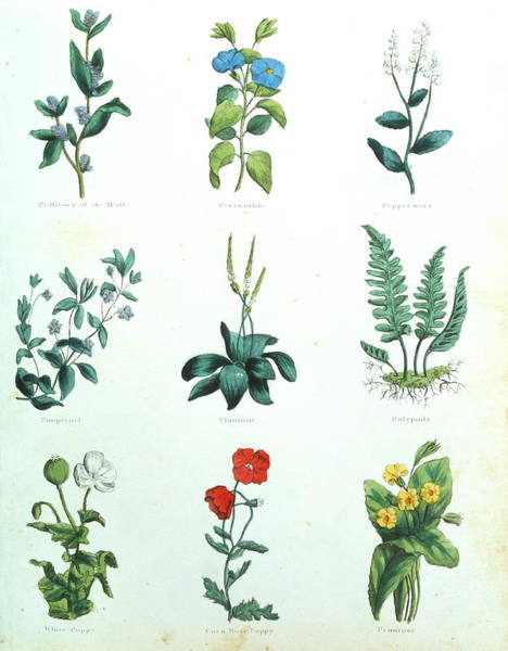 1850 Wall Art - Photograph - Medicinal Herbs by Sheila Terry/science Photo Library