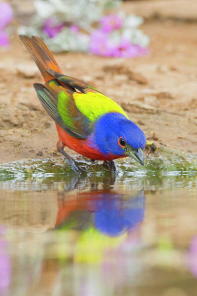 Thirst Photograph - Painted Bunting (passerina Ciris by Larry Ditto