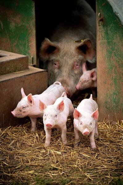Pickering Photograph - Pig Farming by Jim Varney/science Photo Library