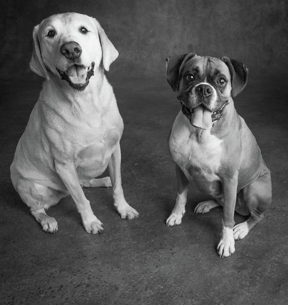 Black Lab Photograph - Portrait Of A Boxer Dog And Golden by Animal Images