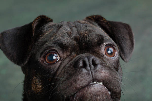 Pug Photograph - Portrait Of Pug Bulldog Mix Dog by Animal Images