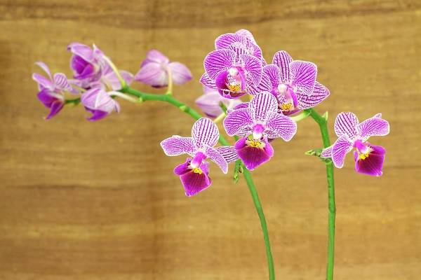 Photograph - Purple Orchid-12 by Rudy Umans