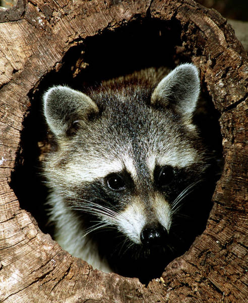 Duval County Photograph - Raccoon by Millard H Sharp