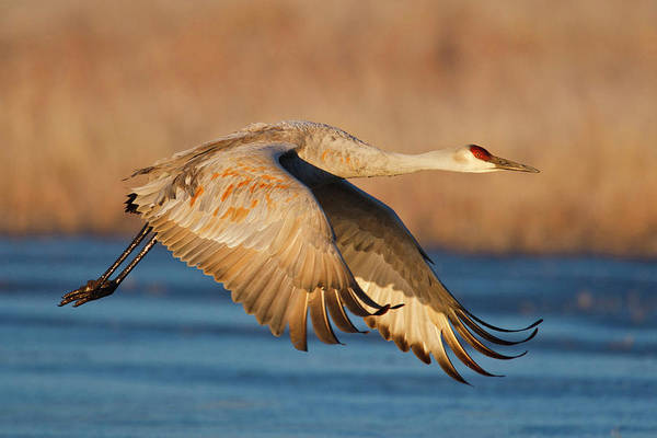 Wall Art - Photograph - Sandhill Crane (grus Canadensis by Larry Ditto