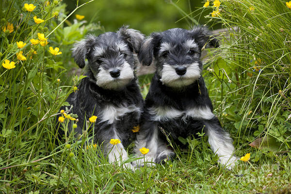 Photograph - Schnauzer Puppy Dogs by John Daniels