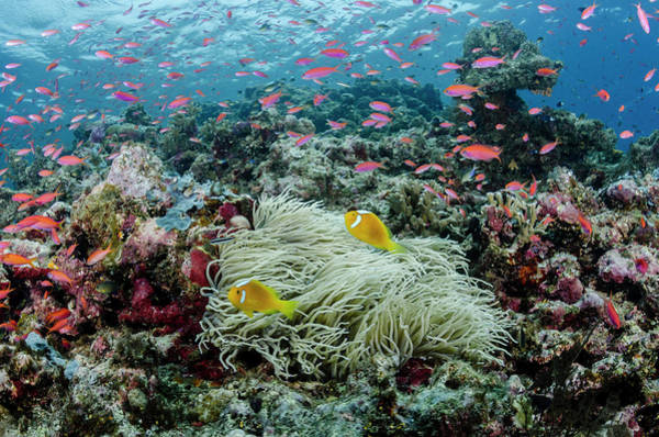 Clownfish Photograph - South Pacific, Solomon Islands by Jaynes Gallery