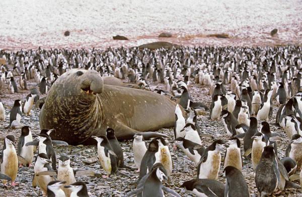 Wall Art - Photograph - Southern Elephant Seal (mirounga Leonina by Martin Zwick