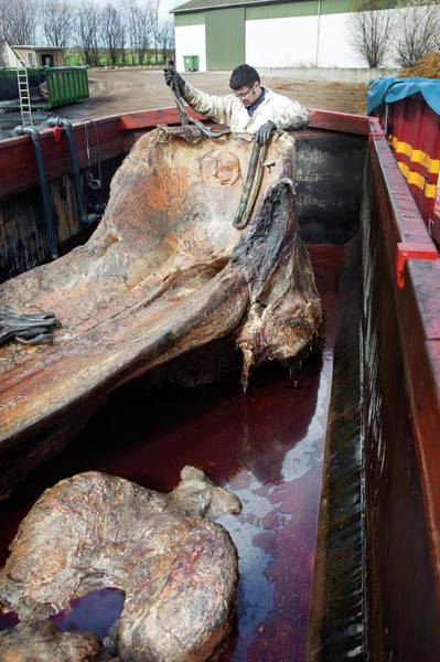 Conserved Photograph - Sperm Whale Skeleton Preparation by Thomas Fredberg