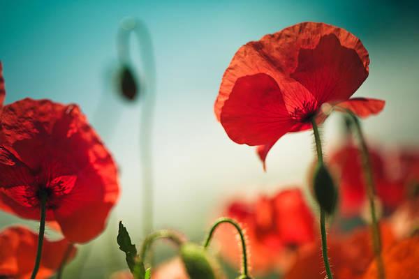 Poppy Field Photograph - Summer Poppy by Nailia Schwarz