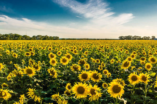 Photograph - Blue Skies, Clouds, And Sunflowers by Melinda Ledsome