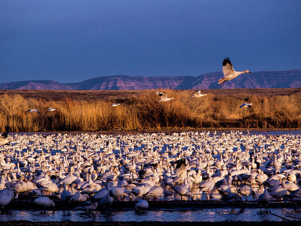 Wall Art - Photograph - Usa, New Mexico, Bosque Del Apache by Terry Eggers