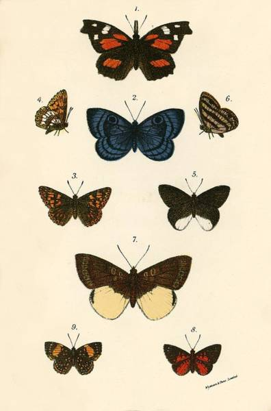 Butter Painting - Butterflies by English School