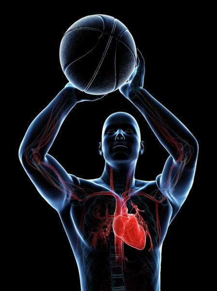 Wall Art - Photograph - Male Cardiovascular System by Sciepro/science Photo Library