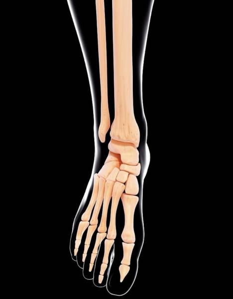 Wall Art - Photograph - Human Leg Bones by Pixologicstudio/science Photo Library
