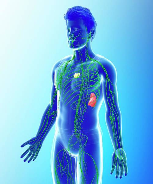 Wall Art - Photograph - Human Lymphatic System by Pixologicstudio/science Photo Library