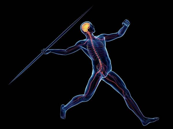 Javelin Photograph - Male Nervous System by Sciepro/science Photo Library