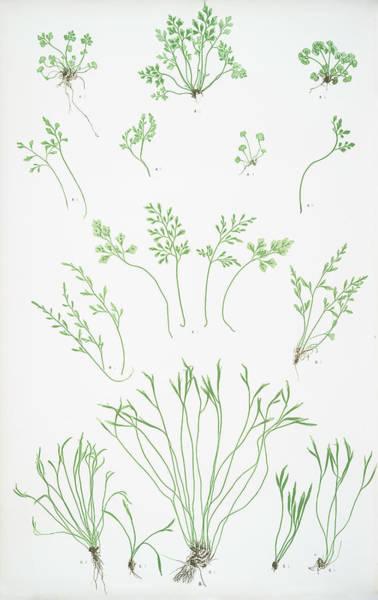 Organic Drawing - A. Asplenium Ruta-muraria. B. A. Germanicum. C by Litz Collection